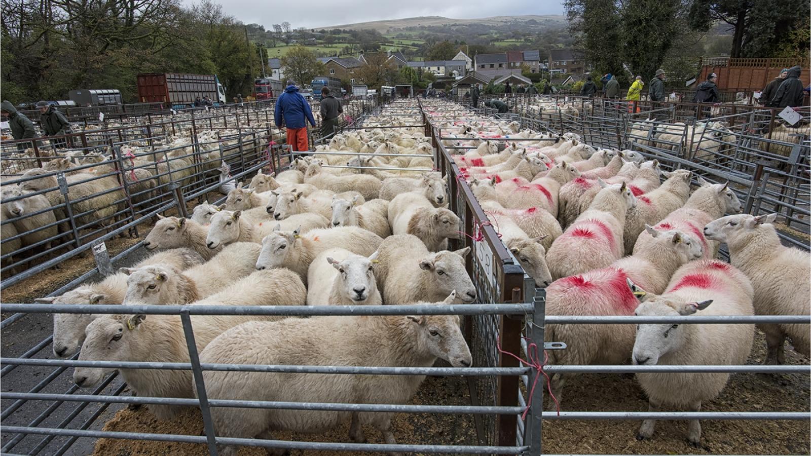 14. Penderyn Sheep Market