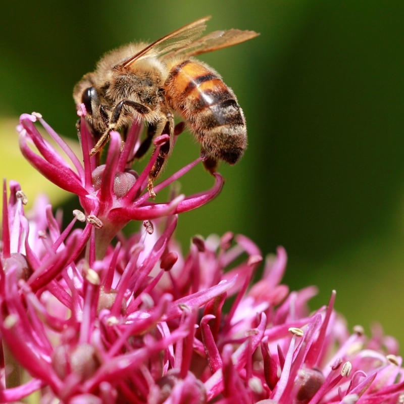 bee collecting pollen from a pink plant