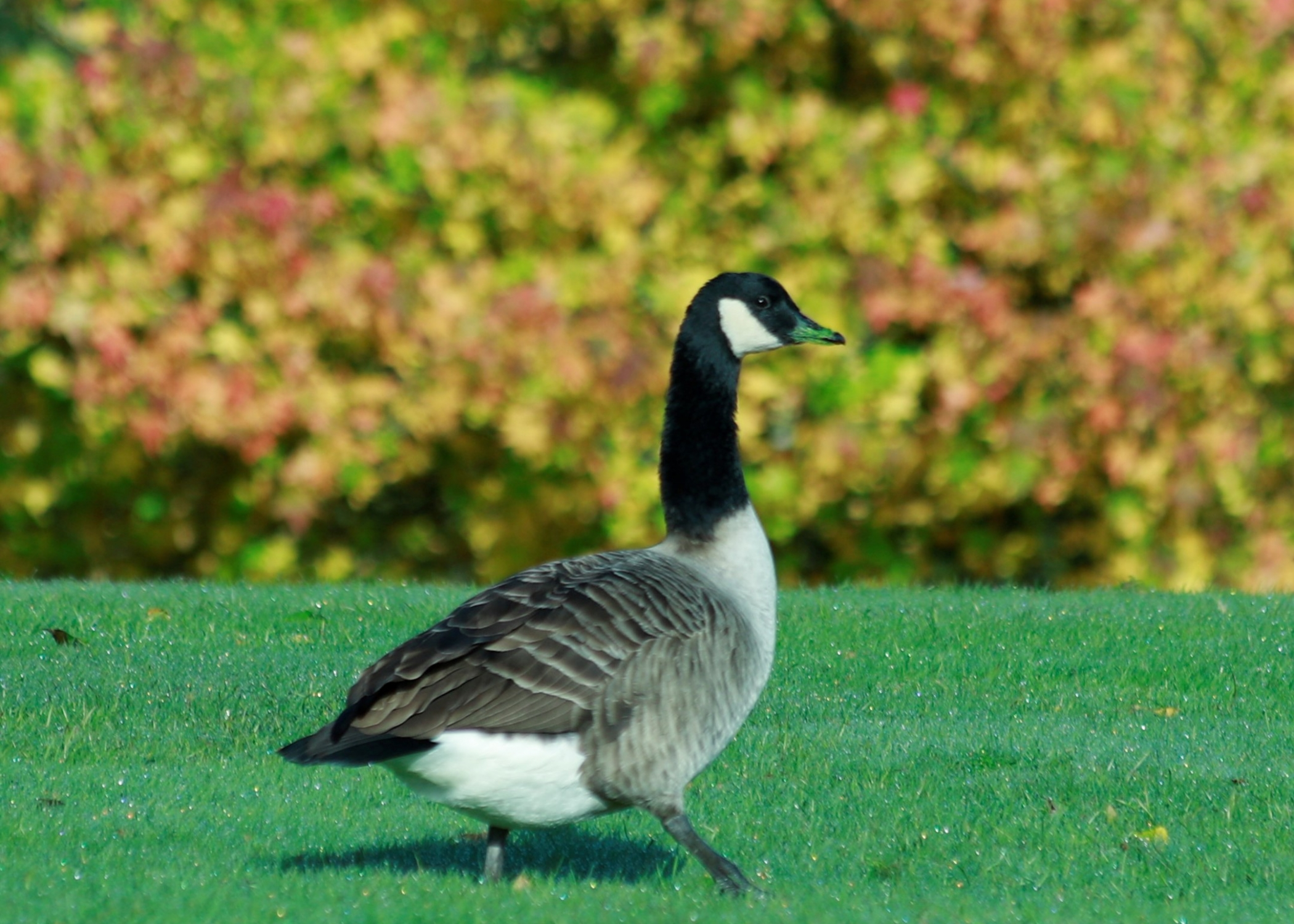 Canadian goose, black neck, white chest and dark body walking on grass