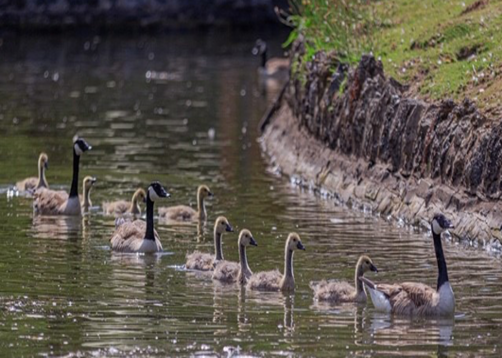 canadian geese with black necks swimming alongside goslings