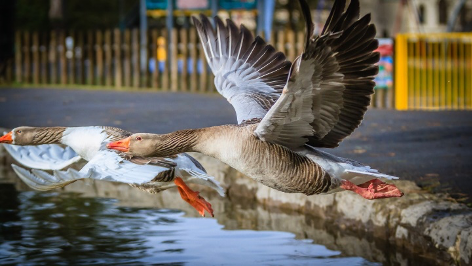 Goose flying away from waters edge